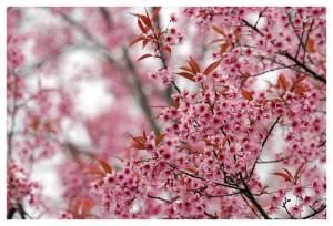 Sakura Mai